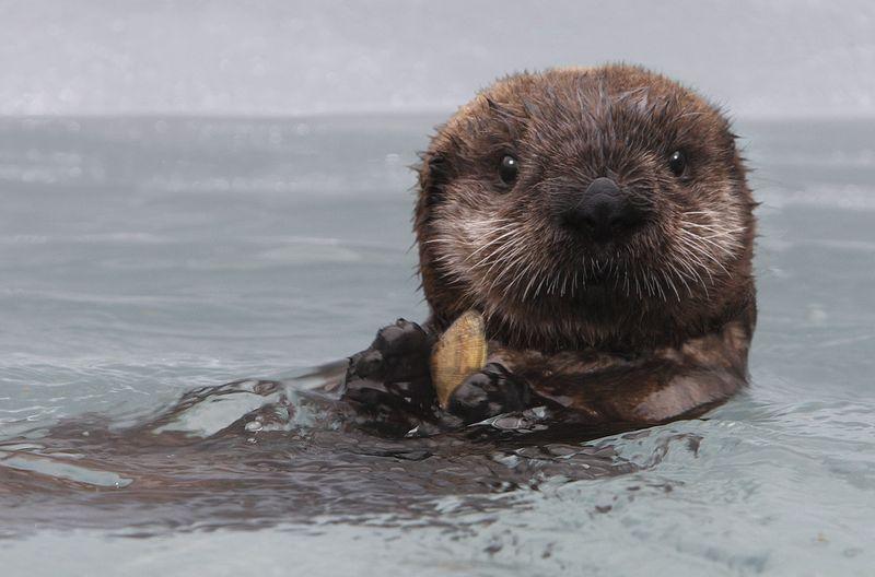 Baby sea otter monterey bay aquarium 1