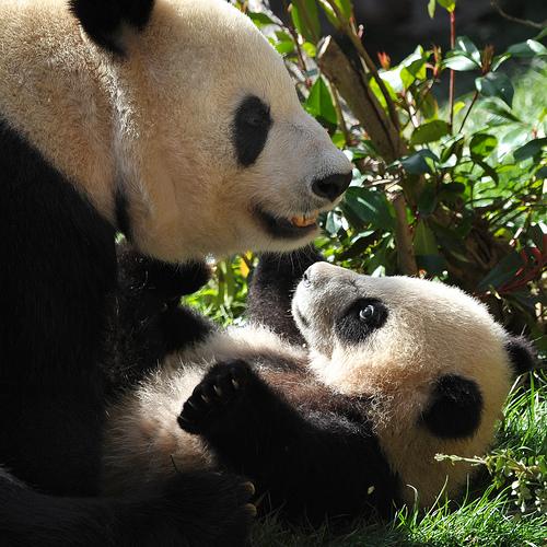 Baby panda yun zi wrestling 1a