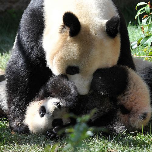 Baby panda yun zi wrestling 2