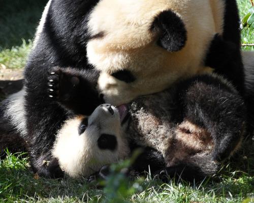 Baby panda yun zi wrestling 3