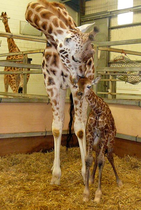 2010-02-giraffe-8