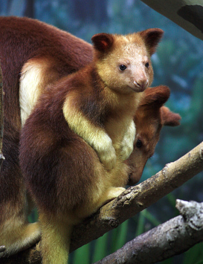 Endangered Tree Kangaroo Emerges from Her Pouch - ZooBorns