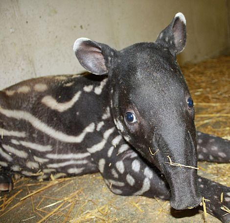 Baby tapir henry doorly zoo rs