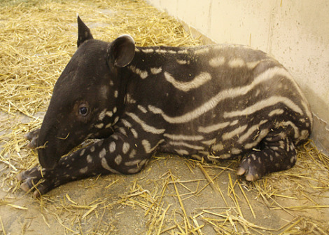 Baby tapir henry doorly zoo 2 rs