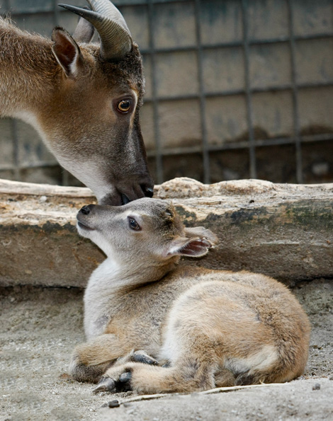 Mom-and-baby-tahr-2