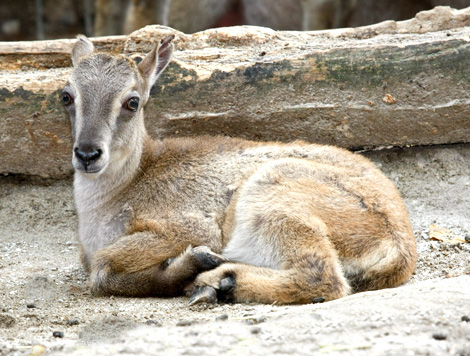 Quiet-moment-of-rest-for-one-of-the-tahr-babies