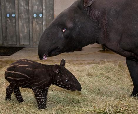 Tapir_with_mom
