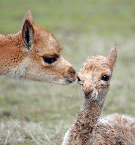 Vicuna mum and newborn baby rs