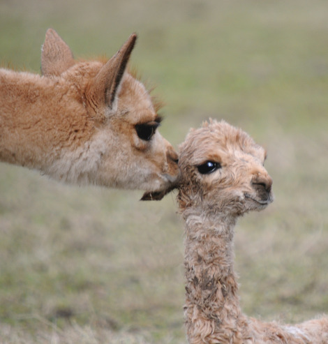 Vicuna mum and newborn baby 2 rs