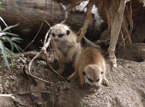 Baby meerkat pup san diego zoo 4 rs