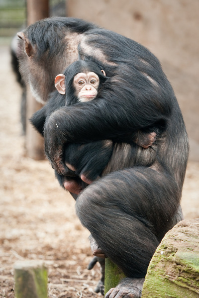 Baby chimp and mom at dierenpark zoo 3