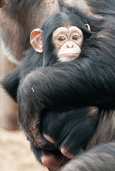 Baby chimp and mom at dierenpark zoo 3b