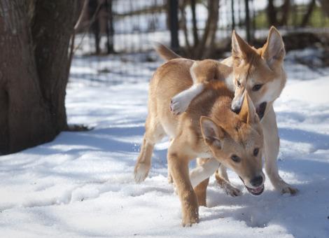 Dingo puppies Fort Wayne Children's Zoo (1)