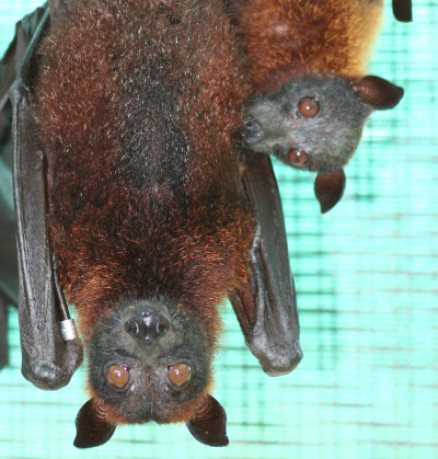 0.2 Large Flying Fox © D. LeBlanc, Lubee Bat Conservancy rs