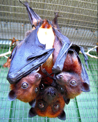 Charisma & Twins Variable Flying Fox © S. Mulder, Lubee Bat Conservancy rs