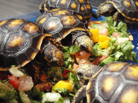 Baby yellow-foot tortoise st. augustine alligator farm 3