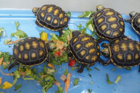 Baby yellow-foot tortoise st. augustine alligator farm 4