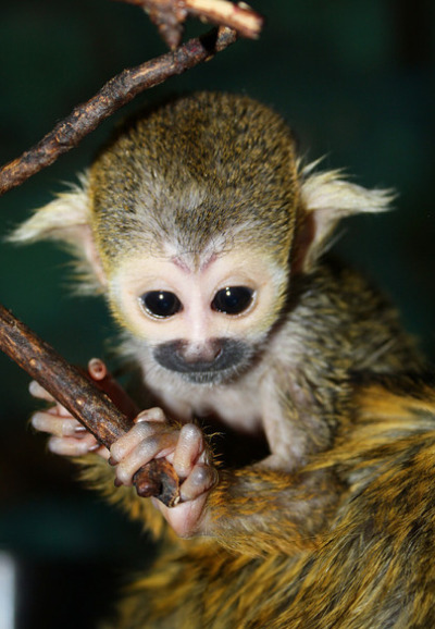 Up Close And Personal With A Baby Squirrel Monkey Zooborns