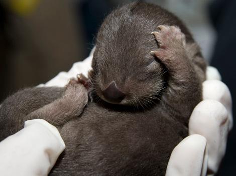 Otter-Pup-2010---01---G.-Jones,-Columbus-Zoo-and-Aquarium