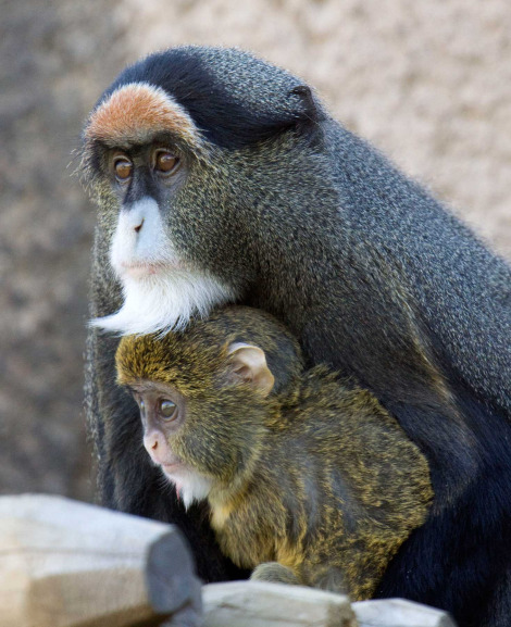 Baby de brazzas monkey denver zoo 1