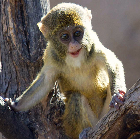Baby de brazzas monkey denver zoo 2