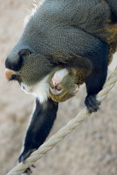 Baby de brazzas monkey denver zoo 3