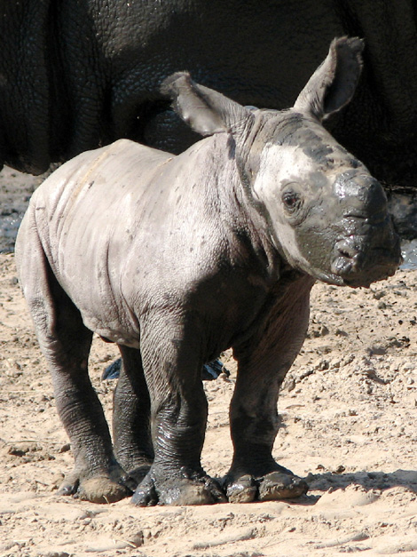 TLPZ-w-rhino-calf-2