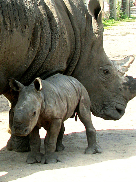 TLPZ-w-rhino-mom-calf