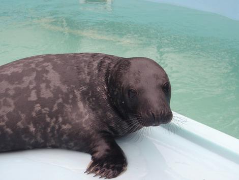 Orphan baby gray seal mystic aquarium 3