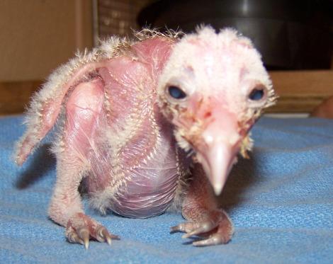 Baby skeksis vulturus chick franklin park zoo 1