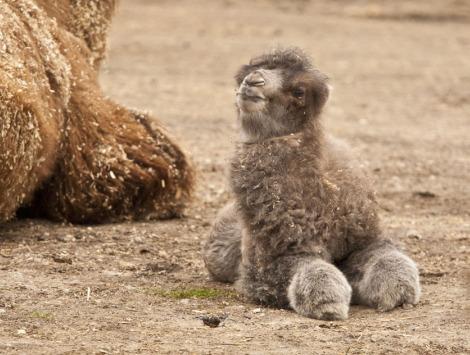 Baby camel calf minnesota zoo 1a