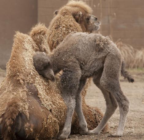 Baby camel calf minnesota zoo 4