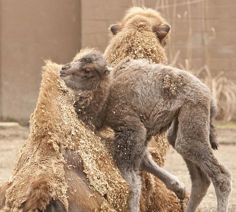 Baby camel calf minnesota zoo 2