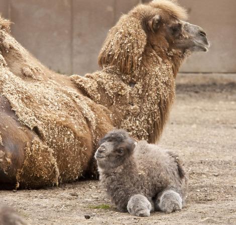 Baby camel calf minnesota zoo 3