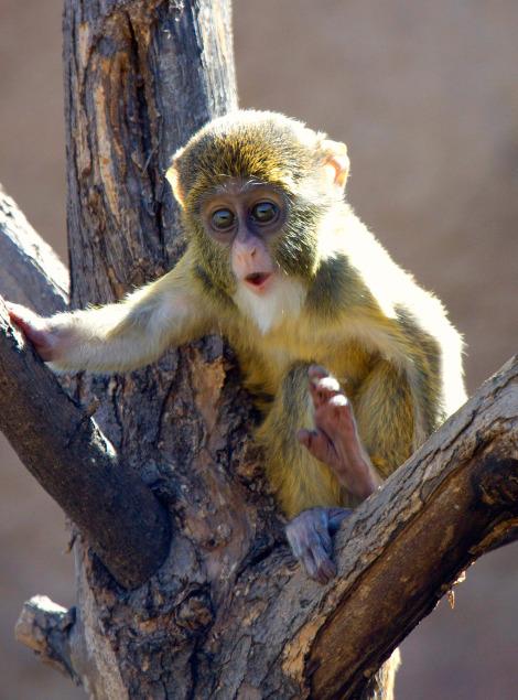 Baby de brazzas monkey denver zoo 4