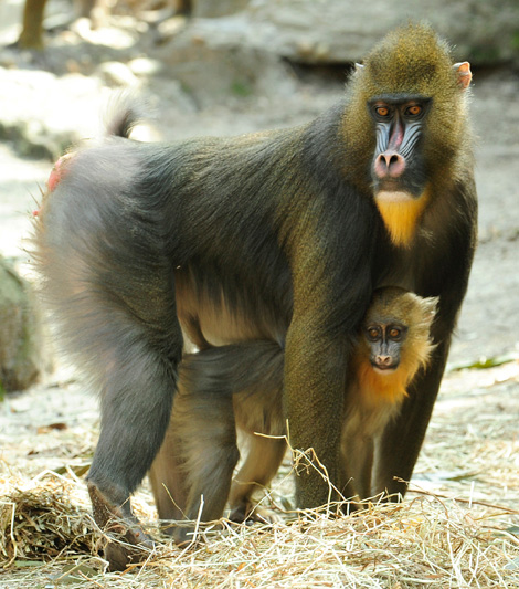 _julie-larsen-maher-8860-mandrill-and-baby-3-19-10