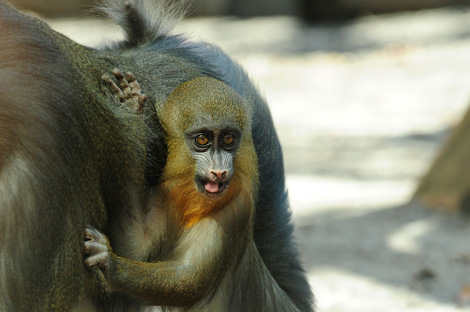 _julie-larsen-maher-8397-mandrill-and-baby-3-18-10[1]