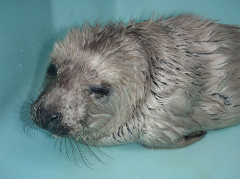 Orphan baby gray seal mystic aquarium 1