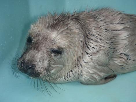Orphan baby gray seal mystic aquarium 1