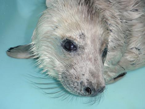 Orphan baby gray seal mystic aquarium 2
