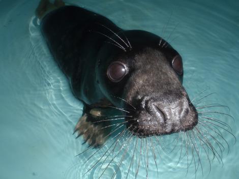 Orphan baby gray seal mystic aquarium 4