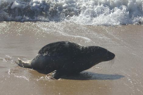 Orphan baby gray seal mystic aquarium 6