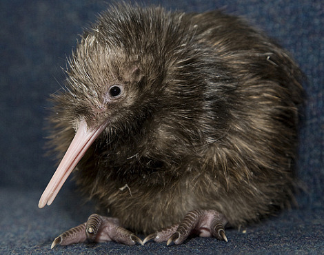 Baby kiwi chick national zoo 1
