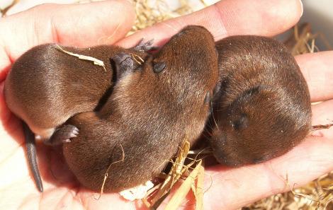 Baby water voles 2