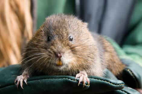 Crossness adult water vole