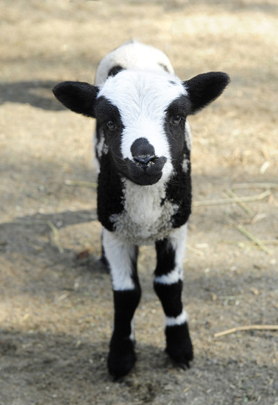 Horned sheep lambs queens zoo 1