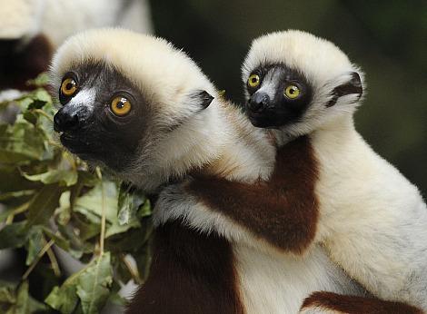 Coquerels sifaka baby bronx zoo 2