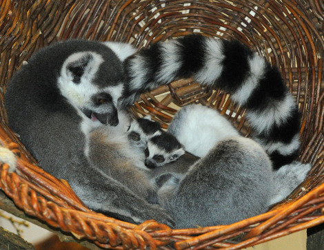 Baby lemur munster zoo rs1