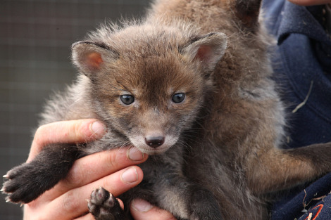 Red fox cubs british wildlife centre 2