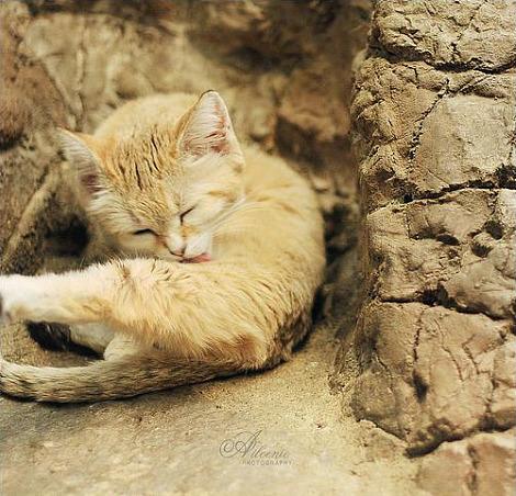 Sand cat kittens cincinnati zoo 3